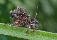 Conheça alguns insetos que são mestres da camuflagem - Mega Curioso