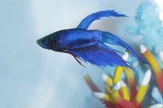O betta, conhecido pelo baixo preço, está na lista de peixes mais procurados para aquário | Portal Animal - o canal de pets do Estadão