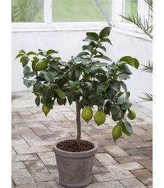 Citrontræ