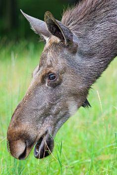a moose...... by Tambako the Jaguar