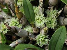 Orquídea. Capituliflorum Dendrobium