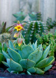 42 Best Sweet Succulents Images Cacti Succulents 640 x 480
