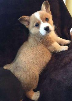 HYUN Attractive Pembroke Welsh Corgi Pups Available ..