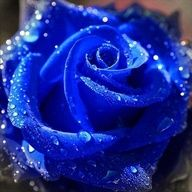 Blue Roses do not exist in nature as a result of genetic limitations. White roses have been dyed blue. In 2004, researchers used genetic modification to create roses that contain the blue pigment delphinidin.