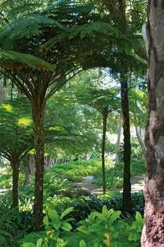 Tree ferns, with their rough bark and huge leaves, are fabulous. BBC Boracay: We love this kind of very private jungle. Tropical gardening at it´s best. Bali Garden, Balinese Garden, Ferns Garden, Shade Garden, Dream Garden, Tropical Garden Design, Tropical Landscaping, Tropical Plants, Tropical Forest