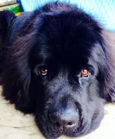 Winston, my Newfie. Big Dogs, I Love Dogs, Cute Dogs, Dogs And Puppies, Doggies, Newfoundland Puppies, Little Brothers, Dog Rules, Mans Best Friend