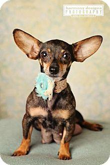Nashville, TN - Chihuahua. Meet Baguette, a dog for adoption. http://www.adoptapet.com/pet/14238450-nashville-tennessee-chihuahua