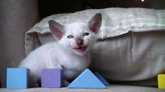 Chat siamois américain à vendre   Laurentides - #chaton #siamois