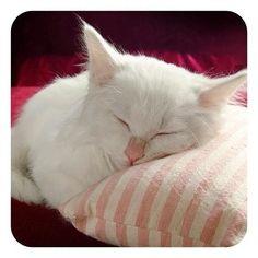 I want a white kitty!