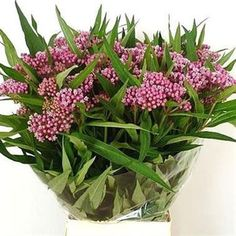 Asclepias Cinderella 65cm is a beautiful Pink seasonal cut flower - wholesaled in Batches of 10 stems.