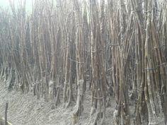 walnut saplings chandler
