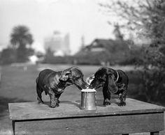 Those German doggies love their beer!
