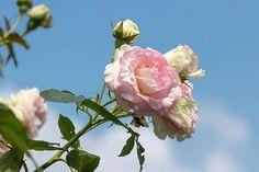 Roses and blue sky all in our little garden ... #rose #roses #garden