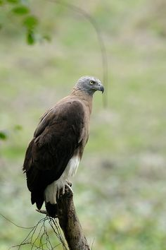 Grey-headed Fish Eagle in Kaziranga National Park Wildlife Of India, Birds Of Prey, Hawks, Eagles, Bald Eagle, National Parks, Feather, Fish, Grey