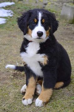 Top 10 Most Beautiful Dog Breeds List In The World - Animal Home Garden Big Dog Breeds, Dog Breeds List, Burmese Mountain Dogs, Cute Puppies, Dogs And Puppies, Most Beautiful Dog Breeds, Huge Dogs, Bernese Mountain, Dog Pictures