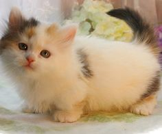 A Munchkin Cats A Persian Cats A Himmie St Louis Himalayan Kittens Fluffy Kittens, Kittens And Puppies, Cats And Kittens, Kitty Cats, I Love Cats, Cute Cats, St Louis, Persian Cats For Sale, Persian Kittens