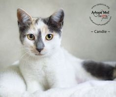 Candie is an adoptable Dilute Calico up for adoption in Phoenix, AZ!
