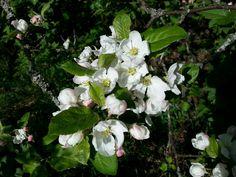 June 1 , 2017 . The Apple Tree Blossom in Nurmijärvi  . FINLAND  .