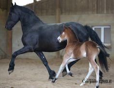 friesians cheval, chevaux, horse, horses.