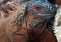 Açaime Iguana http://www.torange-pt.com/animals/lizards/A%C3%A7aime-Iguana-11133.html Banco de fotos www.tOrange-pt.com livres e grátis Açaime Iguana  Tags - #Iguana #lagarto #Dragão #peles #textura #teste #padrão #terrarium #Aquário