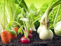 Гениальные хитрости огородников.  Пока у моркови не появились всходы, ее поливают регулярно. Когда появятся всходы, их 12-15 дней лучше не поливать, за исключением засушливых дней. Это дает возможность корням уйти как можно глубже в почву.  Если горчицу посеять рядом с горохом, у него урожай будет выше в 2 раза.  Укроп лучше сеять на солнце, так как в тени у него снижается аромат листьев. Под укроп не вносят золу и известь.  Чтобы стимулировать налив плодов тыквы, ее плети пришпиливают к…