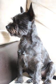 This Chorkie looks like Piper!!