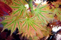 Higasayama Japanese Maple 2 - Year Graft Japanese Maples and Evergreens http://www.amazon.com/dp/B0062R5CPS/ref=cm_sw_r_pi_dp_aSElvb1MZRV3M