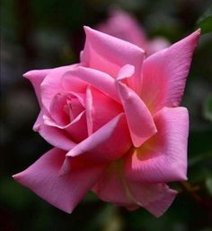 Flower Garland Wedding, Flower Garlands, Flower Decorations, Beautiful Rose Flowers, Flowers Nature, Amazing Flowers, Pink Roses, Pink Flowers, Rose Reference