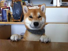 """""""I'm convinced that shibas are the coolest breed ever. Basinjis at a close 2nd."""" I guess I just hadn't met Billie yet."""