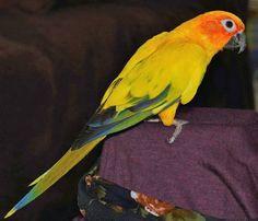 LOST CONURE: 11/01/2017 - Morayfield, Queensland, QLD, Australia. Ref#: L28135 - #ParrotAlert #LostBird #LostParrot #MissingBird #MissingParrot #LostConure #MissingConure