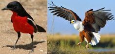 NAMIBIA: The national bird of Namibia used to be the Crimson breasted shrike (now known as the Crimson breasted boubou) as its colours matched those of the Imperial German flag. However, as that is no longer politically correct. The African Fish Eagle has now been named Namibia's national bird.
