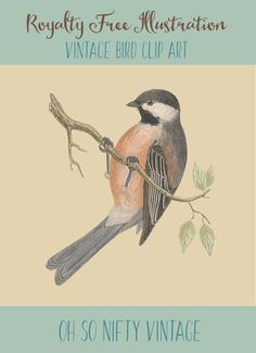 Royalty Free Illustrations | Vintage Bird Clip Art | Siberian Tit - http://vintagegraphics.ohsonifty.com/royalty-free-illustrations-vintage-bird-clip-art-siberian-tit/