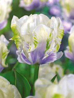 "Parrot Tulip ""White Lizard"""