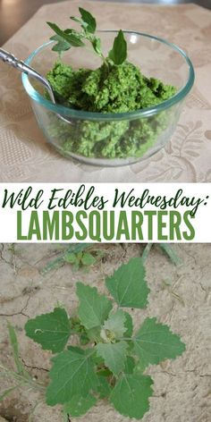 Wild Edibles Wednesday: Lambsquarters - This article talks about one of the most tasty wild edibles Healing Herbs, Medicinal Plants, Edible Wild Plants, Herbs For Health, Wild Edibles, Survival Food, Growing Herbs, Edible Flowers, Along The Way