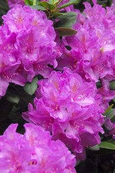 She had a gorgeous Rhododendron plant near our front door when we lived in Bonny Doon.