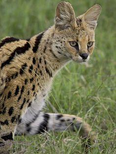 Serval (Felis Serval) Walking, Serengeti National Park, Tanzania, East Africa, Africa