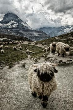 By Susanne La — The valais blacknose sheep, close to the Matterhorn. They are very typical for the region. ) ) By Susanne La — The valais blacknose sheep, close to the Matterhorn. They are very typical for the region. Farm Animals, Animals And Pets, Funny Animals, Cute Animals, Wild Animals, Beautiful Creatures, Animals Beautiful, Valais Blacknose Sheep, Wooly Bully