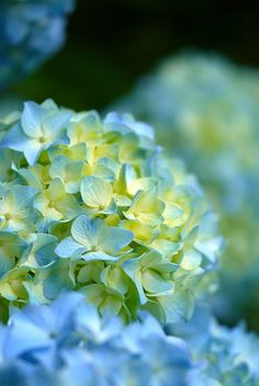 Hydrangea - these flowers will always hold a special place in my heart. My Nanna's garden was full of them, & now whenever I see them I think of her. xoxo