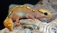 Diplodactylus tessellatus Cute Reptiles, Reptiles And Amphibians, Mammals, Animals Of The World, Animals And Pets, Cute Animals, Frosch Illustration, Salamander, Geckos