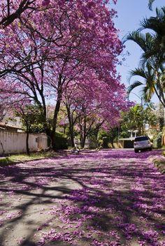 Lapachos Lane - Lapacho trees in Asuncion, Paraguay