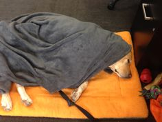 """Not so sure if you can say that Lola is """"helping"""" at work... But she's certainly enjoying her nap!"""