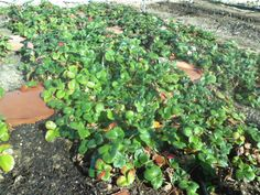 Strawberries! Can't wait till they start to produce.
