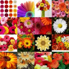 A collage of Gerbera made by me using Picasa.