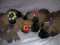 So adorable mastiffs Doggies, Dogs And Puppies, Mastiff Puppies, Bullmastiff, English Mastiff, Dog Rules, All Things Cute, Gentle Giant, Dog Love
