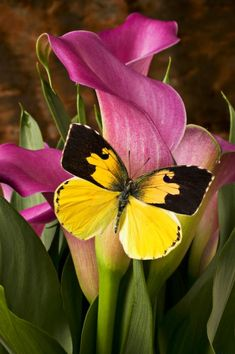 ♥ Dogface Butterfly On Pink Calla Lily