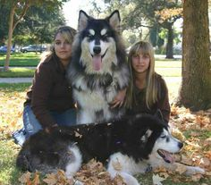 Tibetan Mastiff-Siberian Husky mix: huge dogs - I guess this is what would happen if I combined my TM and husky WOWWOWOWOWOWOW Giant Alaskan Malamute, Malamute Husky, Alaskan Husky, Beautiful Dogs, Animals Beautiful, Cute Animals, Pet Dogs, Dogs And Puppies, Doggies