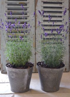 """Lavender in vintage flower buckets."""