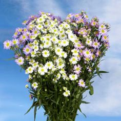 Aster Assorted 22 Bunches