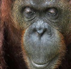 Orang oetan, Borneo