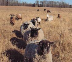 Baa Ram Ewe Sheep